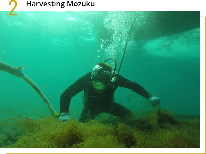 Harvest of Okinawa Mozuku. A Diver is checking the quality.